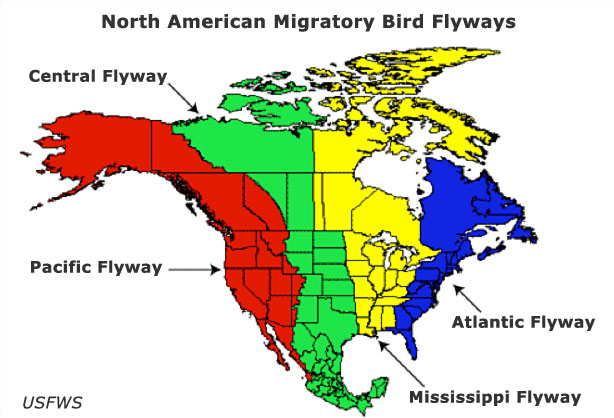 Figure 1 . Pacific, Central, Mississippi and Atlantic Flyways. Source: US Fish & Wildlife Service.