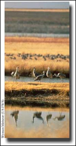 Figure 4. Sandhill Cranes roosting in a Saltwater Playa. Source: http://water.epa.gov/type/wetlands/playa.cfm