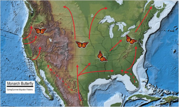 Figure 1. Monarch Butterfly Spring and Summer Migration Patterns. Base map source: USGS National Atlas