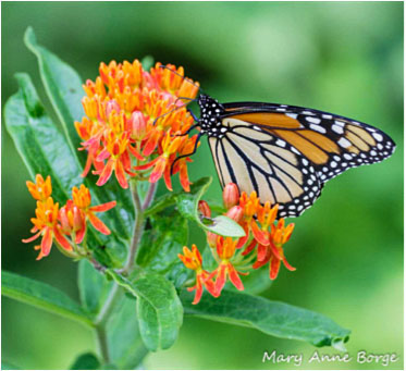 "Figure 4. Monarch on ""Butterfly Milkweed""(Asclepias tuberosa) can be found in southern Texas. Photo Source"